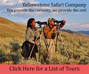Yellowstone Safari Company : Yellowstone Safari Company - a premier outfitter providing guided day and multi-day package tours to Yellowstone's most popular areas where wildlife abound. For winter, view bison, elk, wolves, sheep and more in the Lamar Valley, In summer, see everything across the Hayden Valley.