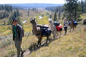 Yellowstone Llama Treks - you hike, we carry gear