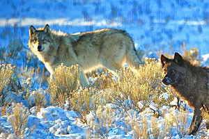 Yellowstone Wolf Tracker | Single & Multi-Day Tour