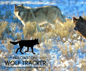 Yellowstone Wolf Tracker | Single & Multi Day Tour