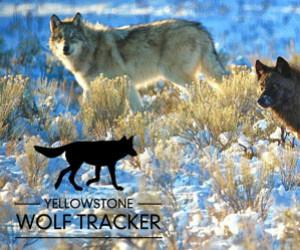 Yellowstone Wolf Tracker | Single & Multi Day Tour