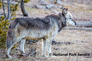 Adventure Yellowstone - Park Wildlife Tours