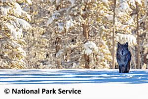 Roam Yellowstone - Winter Guided Tours