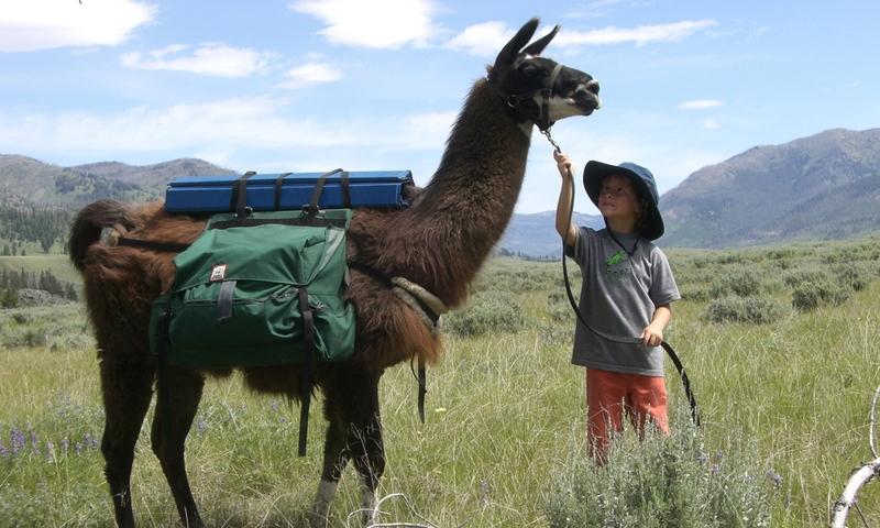 Llamas Llama Yellowstone National Park Tour