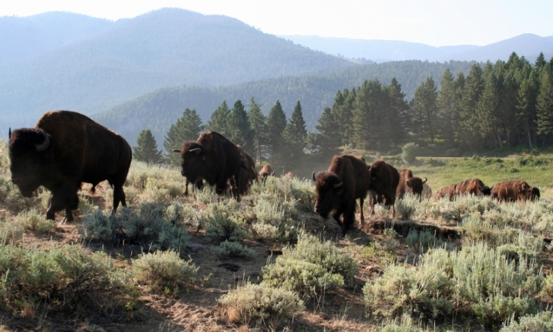 Gallatin Forest Spanish Creek Bison Buffalo Wildlife Montana