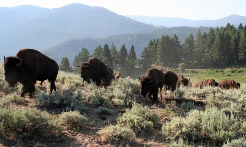 Gallatin Forest Spanish Creek Bison Buffalo Wildlife Montana