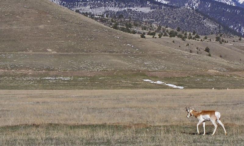 Antelope at Valley Garden Ranch in Ennis Montana