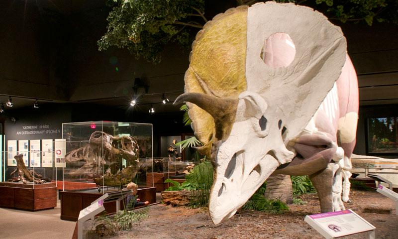 Triceratops in the Museum of the Rockies in Bozeman Montana