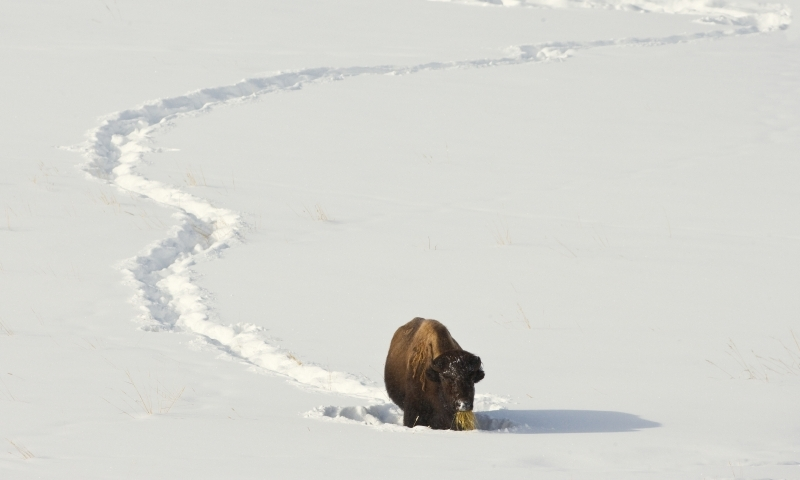 Bison Buffalo Wildlife Yellowstone Winter
