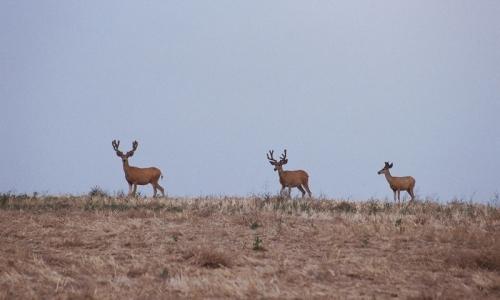 Deer near Bozeman Montana